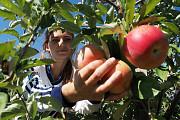 Требуются рабочие на сбор яблок Донецк ДНР