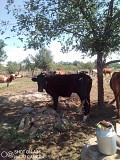 Продам 2 коров на молоко. И теленок 2 мес. Краснодон ЛНР
