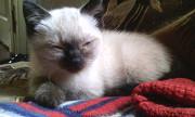 Отдам в добрые и ответственные руки котят от сиамской кошки. Донецк ДНР